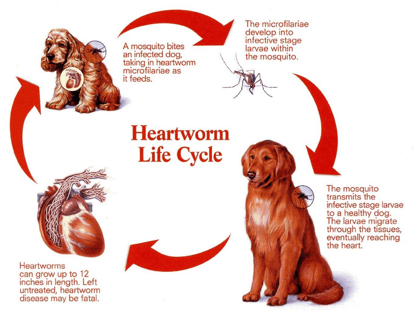 Heartworm life cycle infographic.
