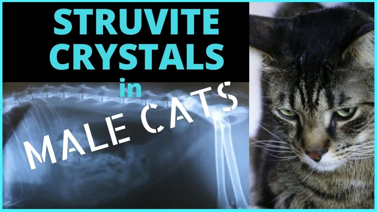 symptoms of struvite in cats