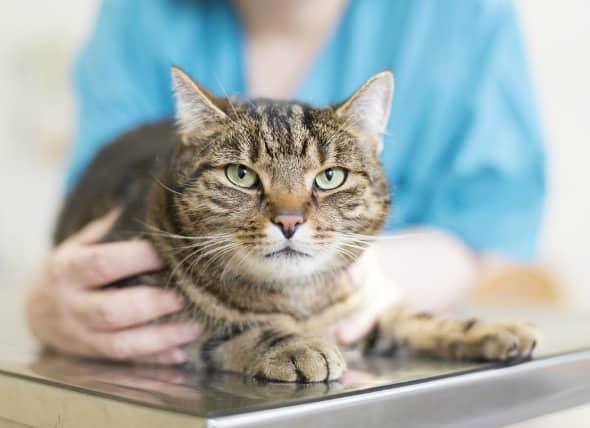 intestinal parasite in a cat