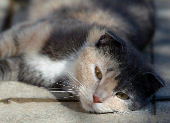 cat liver problems