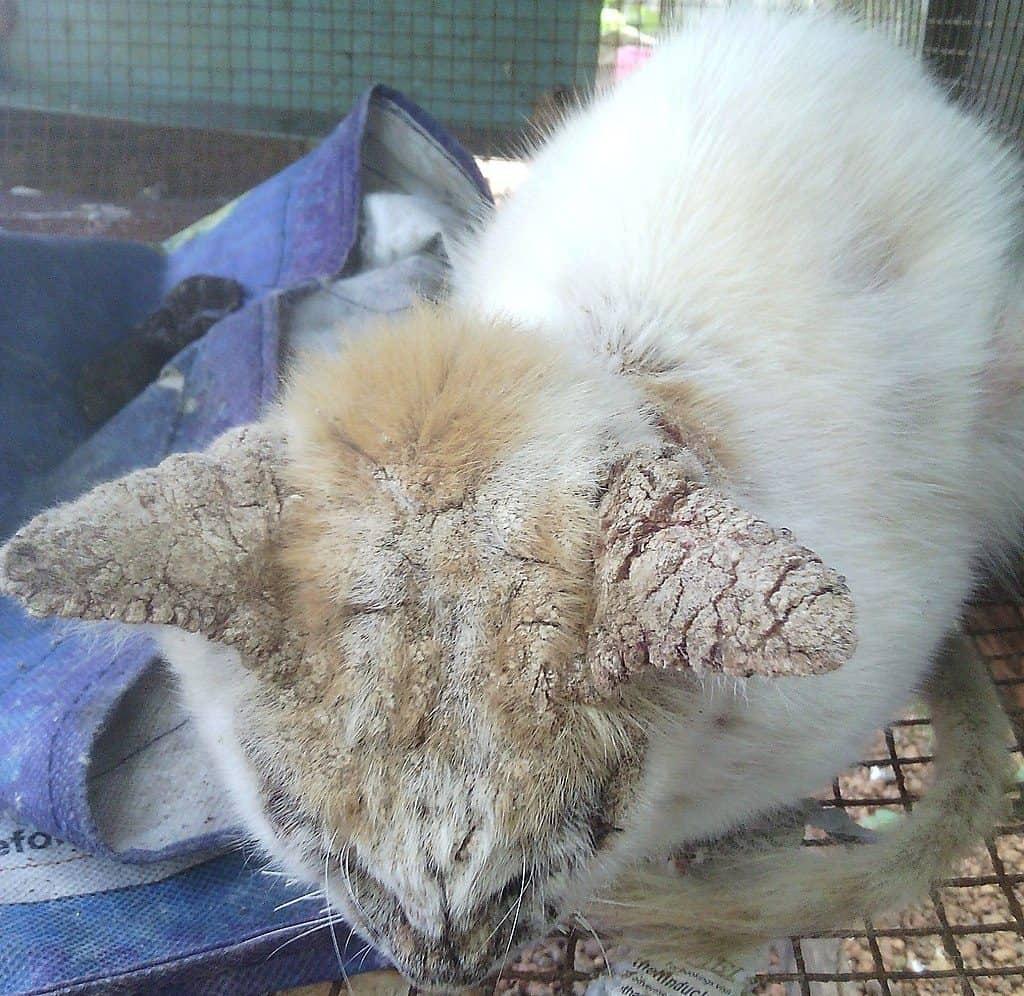 Demodectic Mange In Cats Urban Animal Veterinary Hospital Houston Heights Vet