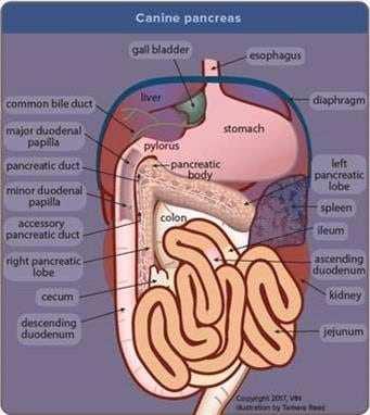 dog inside digestive system