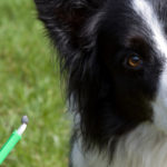 Ehrlichia Infection in Dogs