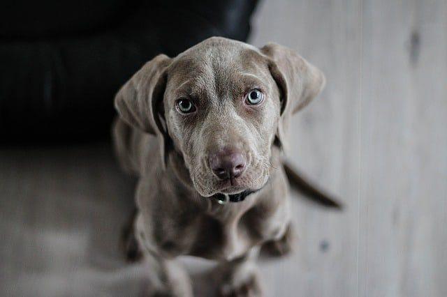 chocolate lab dog laying down