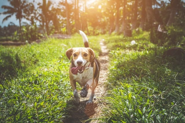pets high blood pressure