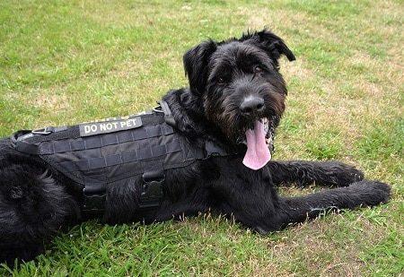 black dog in grass