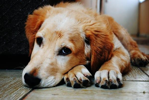 Causes Of Rectal Bleeding In The Dog Urban Animal Veterinary Hospital Houston Heights Vet
