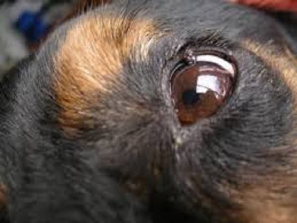 dog small eyelid mass