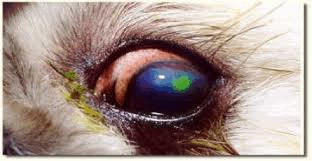ulceration of the cornea