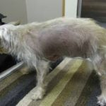 Cushing's Disease in Dogs (Hyperadrenocorticism): What Is It?