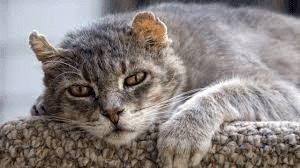cat with arthritis