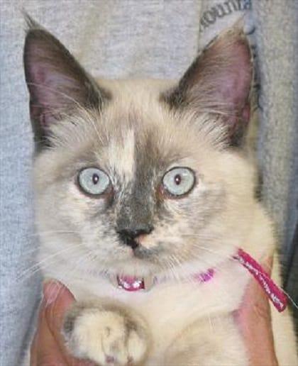 Cardiomyopathy in Cats