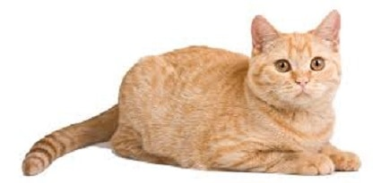 White Blood Cell Cancer-Related (Myeloma) Disorders in Cats