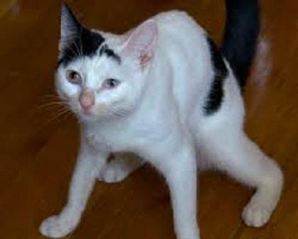 Clumsy Cats - Cerebellar Hypoplasia