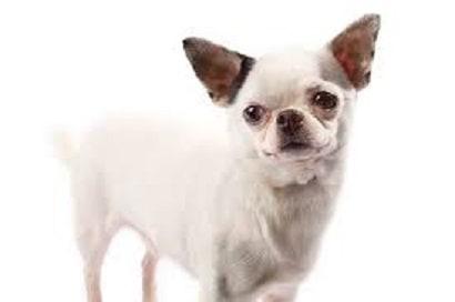 Kneecap displacement (Patellar Luxation) in Dogs Ranges in Severity