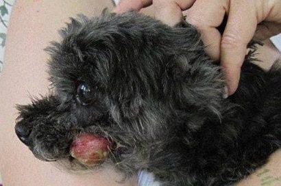 oral melanoma in a dog