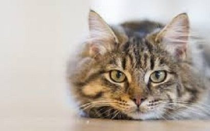 Aspergillosis in Cats