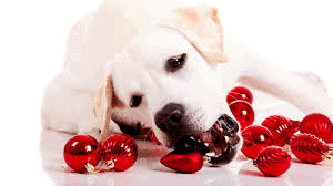 dog chewing christmas decorations