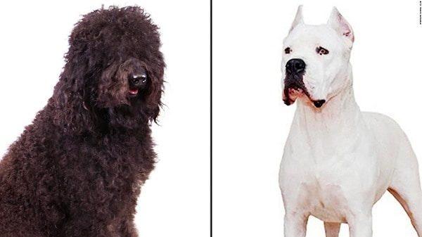 breeding big dogs