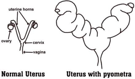 Pyometra (Pus-Filled Uterus) in Companion Dogs
