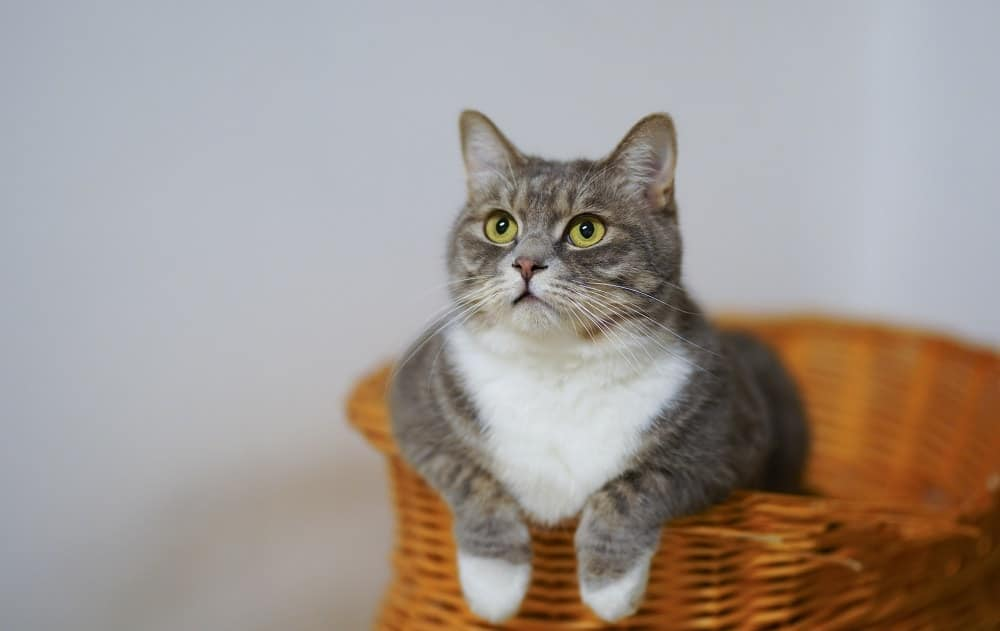 Feline Immunodeficiency Virus (FIV) - Urban Animal Veterinary Hospital