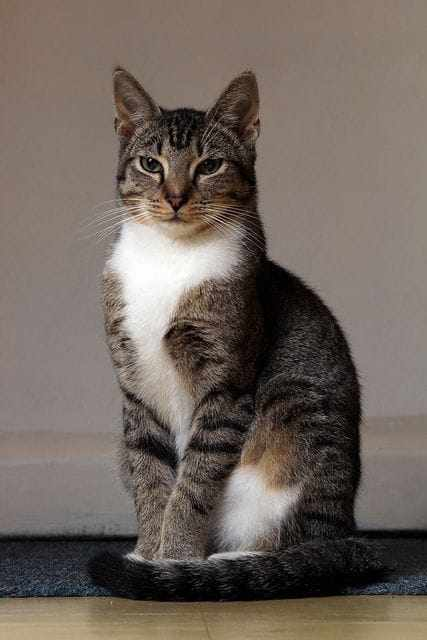 cat with fiv