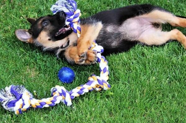 puppy playing with his new toy
