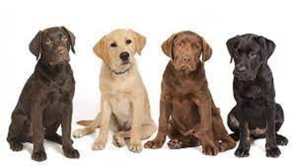 labs with canine copper storage disease large