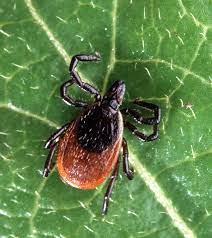 Ixodes tick which transits Lyme through feeding