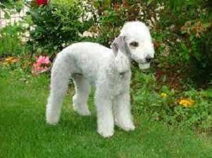 Bedlington Terrier is well known for copper storage disease
