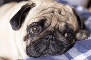 lethargic pug with addisons disease
