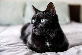 black cat with whipworm infection