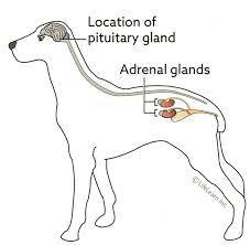 dog adrenal glands