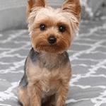 Acute Hemorrhagic Gastroenteritis or HGE in Dogs