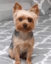 Small breeds are over represented with Acute Hemorrhagic Gastroenteritis
